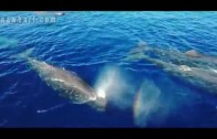 Sperm Whales GOPRO4 drone video Dana Point danawharf.com